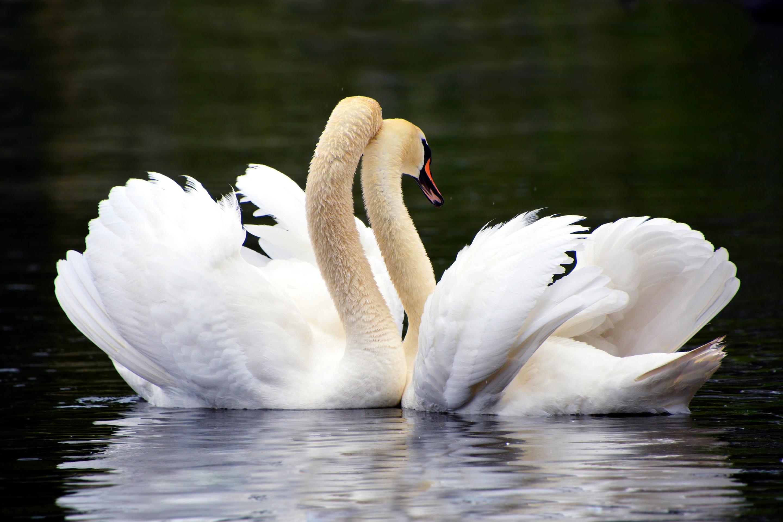 Картинки два лебедя для любимой