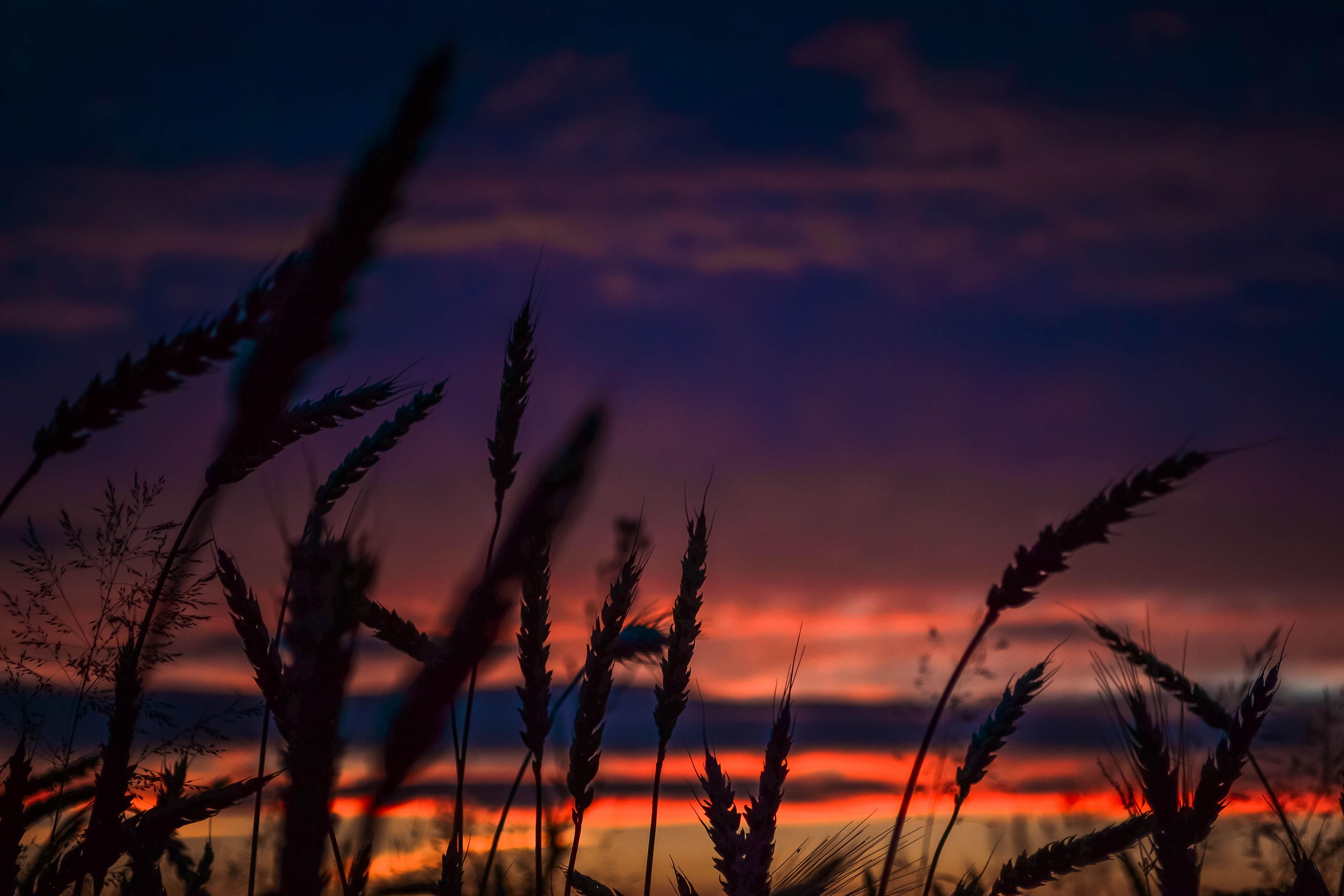 картинка рассвет и пшеница картинка словами, надписью