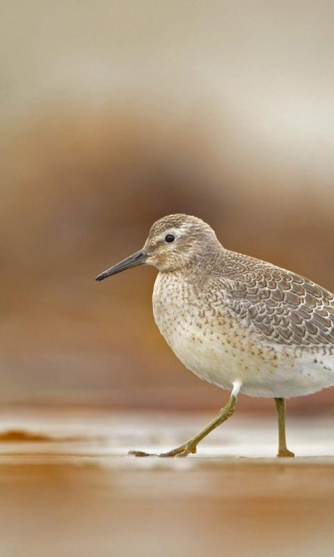 серая птичка с длинным клювом фото средней
