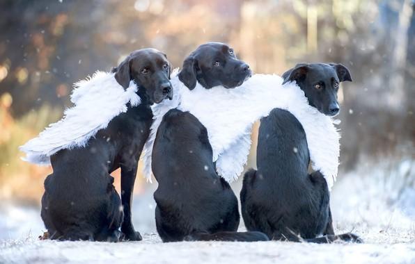 Картинка зима, осень, собаки, взгляд, свет, снег, природа, поза, парк, спина, портрет, крылья, собака, ангел, ангелы, …
