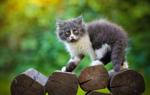 Картинка взгляд, фон, пушистый, котёнок, брёвна, Юрий Коротун