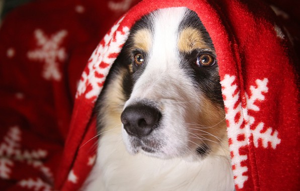 Картинка зима, взгляд, морда, снежинки, уют, тепло, портрет, собака, покрывало, плед, пятнистая