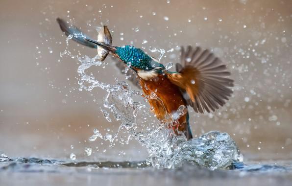 Картинка вода, брызги, птица, рыба, зимородок, kingfisher, улов