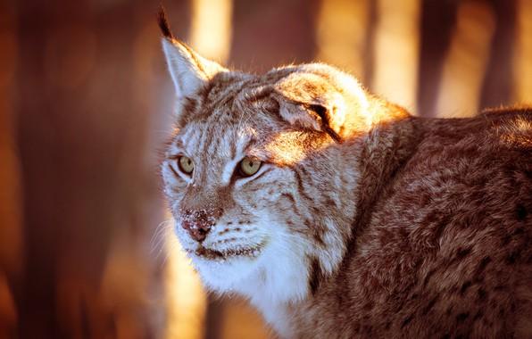 Картинка лес, кошка, взгляд, морда, свет, фон, портрет, освещение, красивая, рысь, ушки, дикая