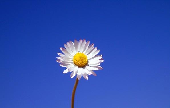 Картинка цветок, фон, минимализм, ромашка