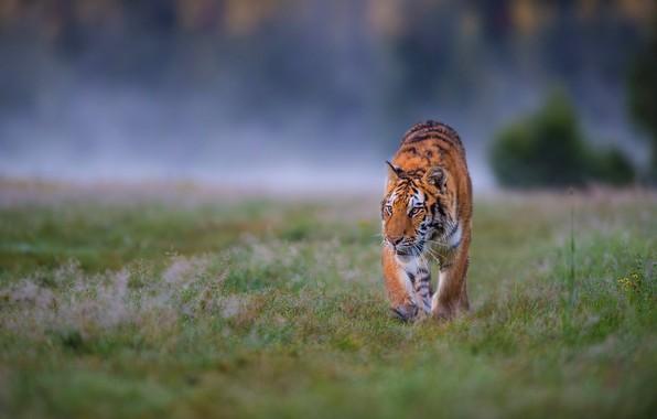 Фото обои поле, трава, взгляд, природа, тигр, поза, туман, фон, поляна, утро, охота, прогулка, дикая кошка, крадется