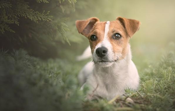 Картинка взгляд, портрет, собака, мордашка, пёсик, Джек-рассел-терьер