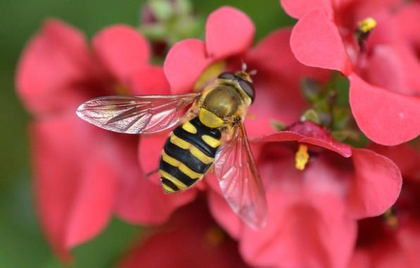 Картинка макро, цветы, насекомое, Журчалка, Диасция