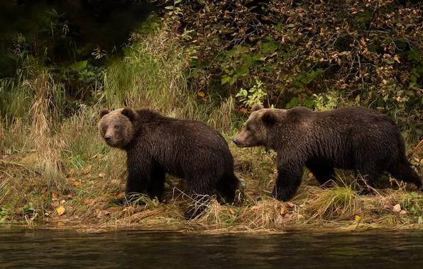 Картинка осень, трава, взгляд, река, берег, листва, медведи, пара, прогулка, парочка, мишки, два, водоем, бурые, два …