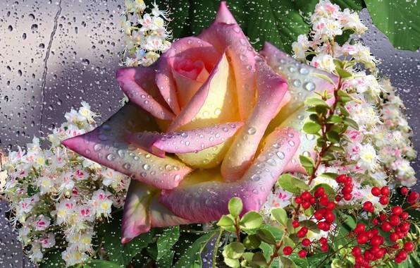 Картинка осень, капли, роса, дождь, роза