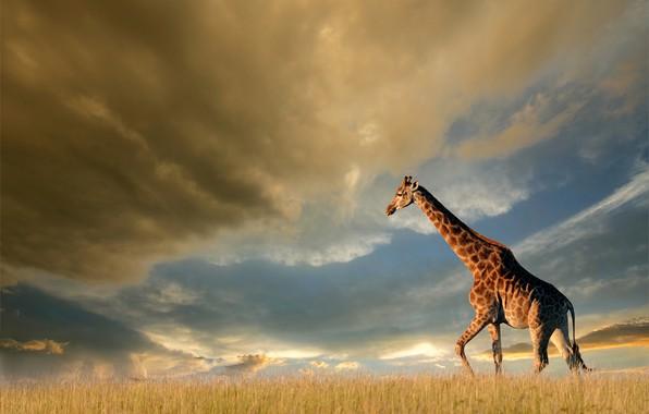 Картинка поле, небо, трава, солнце, облака, тучи, природа, жираф