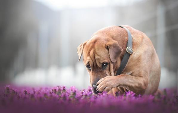 Картинка морда, цветы, лапа, собака, боке