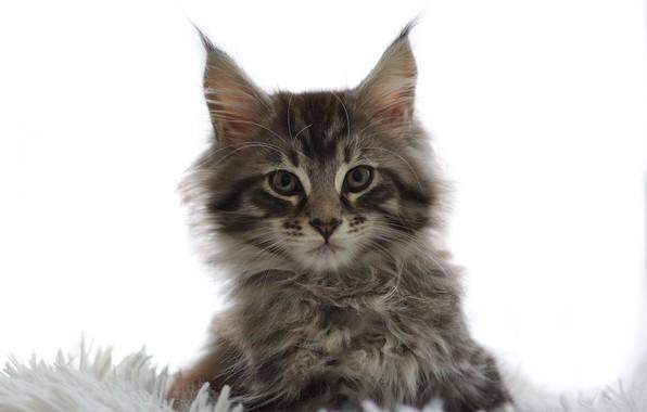 Картинка взгляд, пушистый, мордочка, белый фон, котёнок
