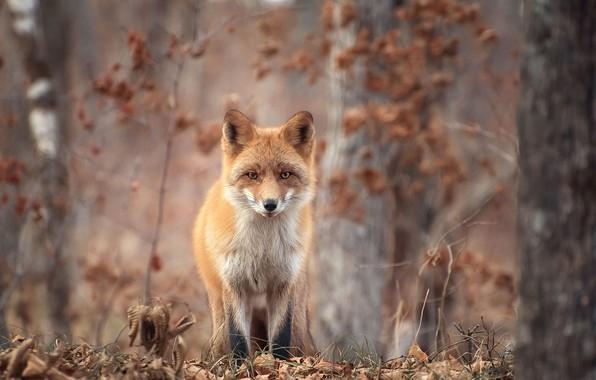 Картинка осень, лес, деревья, природа, животное, листва, лиса, лисица