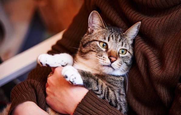 Картинка кошка, кот, взгляд, морда, поза, серый, фон, лапы, руки, кофта, сидит, коричневый, хозяйка, полосатый, котэ, …