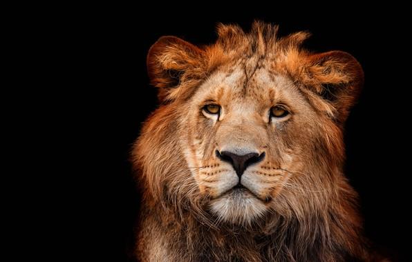 Картинка глаза, взгляд, морда, крупный план, портрет, лев, черный фон, дикая кошка, львенок, львёнок, молодой, подросток