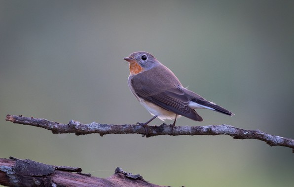 Картинка птица, ветка, пичуга, малая мухоловка