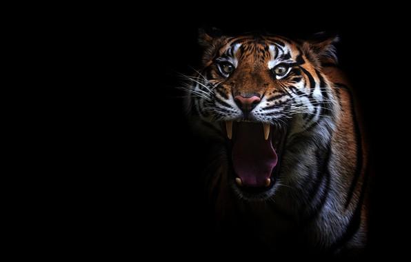 Картинка язык, глаза, взгляд, морда, тигр, портрет, зубы, пасть, клыки, злой, черный фон, недовольный, агрессия, дикая …