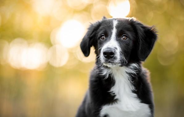 Картинка осень, взгляд, свет, природа, поза, фон, черно-белый, портрет, собака, малыш, щенок, мордашка, милашка, боке, бордер-колли