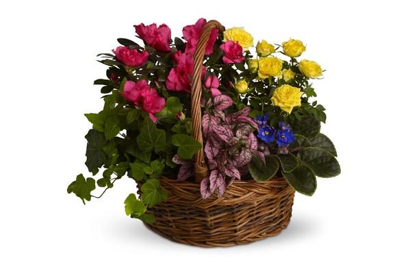 Картинка цветы, розы, белый фон, каладиум