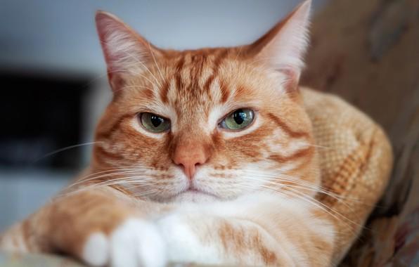 Картинка кот, взгляд, портрет, рыжий, мордочка, котэ, серьёзный, котейка