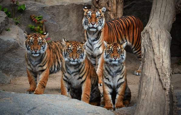 Картинка взгляд, тигр, камни, семья, бревно, компания, тигры, тигрица, тигрята