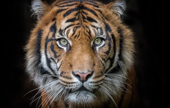 Картинка tiger, cat, head, feline