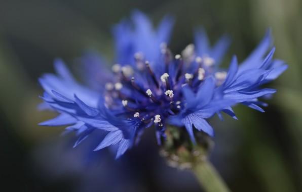 Картинка цветок, лето, фон, василёк посевной