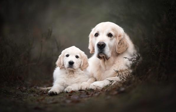 Фото обои лес, собаки, взгляд, природа, поза, парк, темный фон, две, собака, растения, малыш, пара, щенок, белые, ...