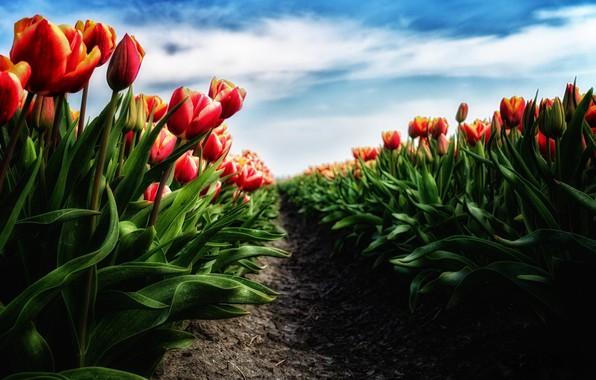Картинка цветы, весна, тюльпаны