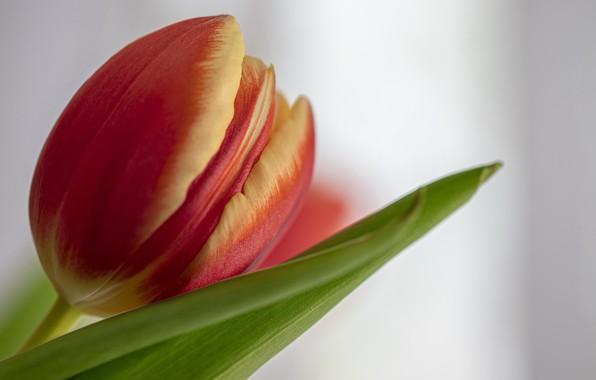 Картинка цветок, макро, тюльпан