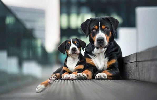 Картинка собаки, взгляд, город, поза, фон, две, портрет, лапы, бордюр, пара, щенок, парочка, дуэт, мама, черные, ...