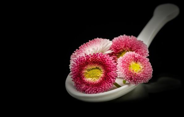 Картинка цветы, ложка, розовые, черный фон, маргаритки