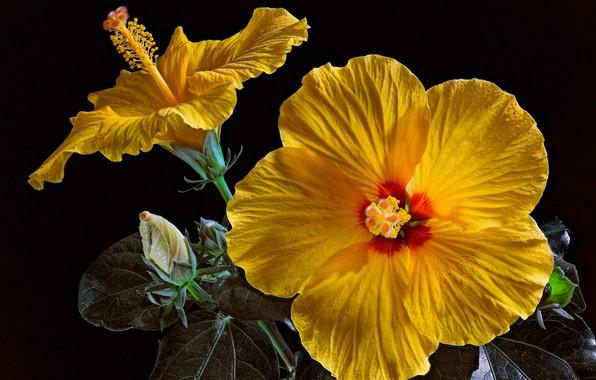 Картинка листья, лепестки, черный фон, бутоны, жёлтые, крупным планом, гибискусы