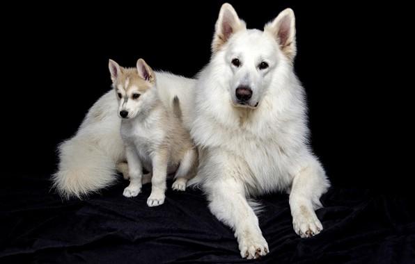 Картинка собаки, взгляд, морда, поза, вместе, две, портрет, собака, малыш, пара, щенок, ткань, лежит, белая, белые, …