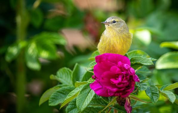 Картинка цветок, шиповник, птичка