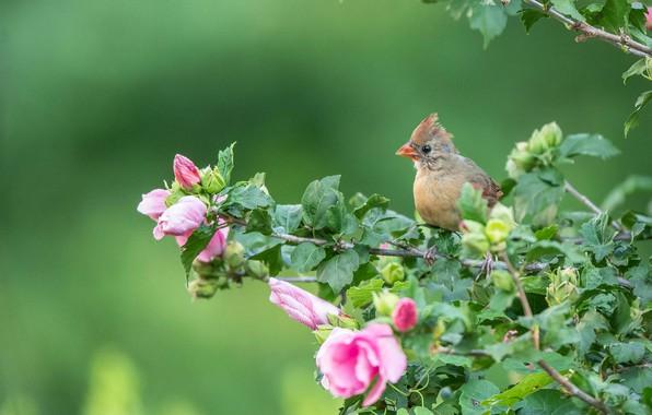 Картинка ветки, фон, птица, птенец, цветки, гибискус, Кардинал