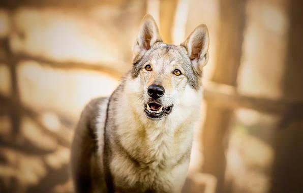 Картинка взгляд, морда, свет, поза, блики, серый, фон, настроение, волк, портрет, собака, большая, пес, пасть, клыки, ...