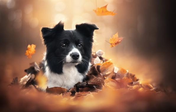 Картинка осень, взгляд, морда, листья, собака