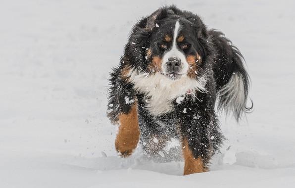 Картинка зима, снег, красавец, Бернский Зенненхунд