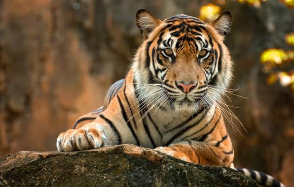 Картинка осень, взгляд, морда, природа, тигр, поза, фон, камень, портрет, лапы, лежит, боке