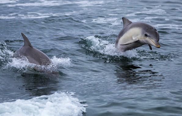 Картинка море, волны, дельфин, прыжок, пара, дельфины, два, плавание