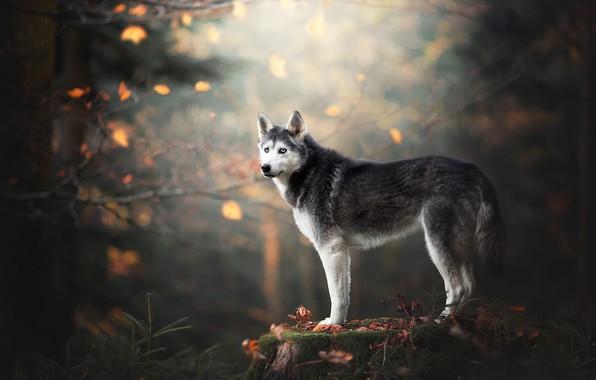 Картинка осень, лес, взгляд, листья, ветки, природа, поза, парк, фон, мох, пень, собака, стоит, голубые глаза, …