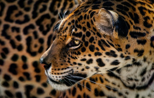 Картинка хищник, Ягуар, пятна, леопард