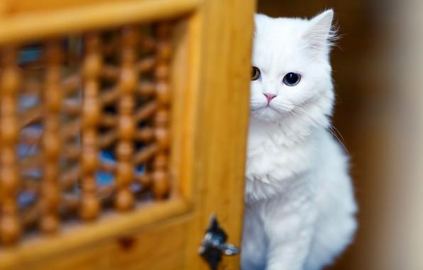 Картинка кошка, белый, взгляд, котенок, фон, глазки, размытие, дверь, мордочка, прятки, белая, котёнок, сидит, киса, выглядывает, …