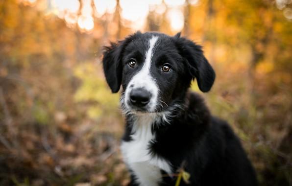 Картинка осень, лес, взгляд, свет, природа, поза, парк, фон, черно-белый, портрет, собака, малыш, милый, щенок, мордашка, …