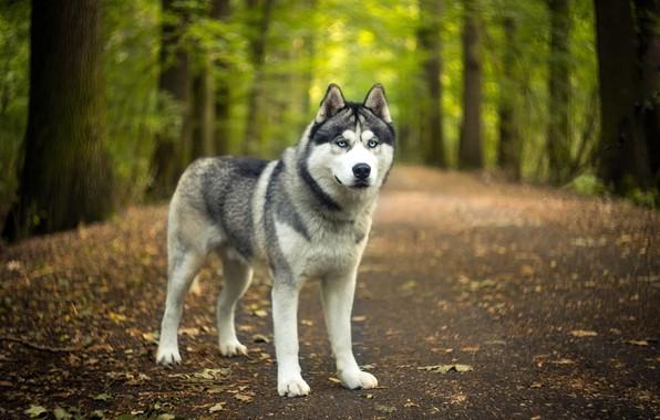 Картинка дорога, осень, лес, взгляд, морда, листья, природа, парк, собака, зеленый фон, хаски, боке, сибирский хаски