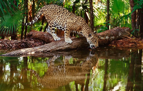 Картинка jungle, jaguar, water, wildlife