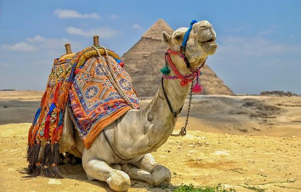 Картинка пустыня, верблюд, пирамида