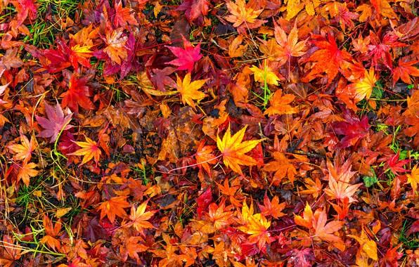 Картинка осень, листья, фон, colorful, red, клен, background, autumn, leaves, осенние, maple
